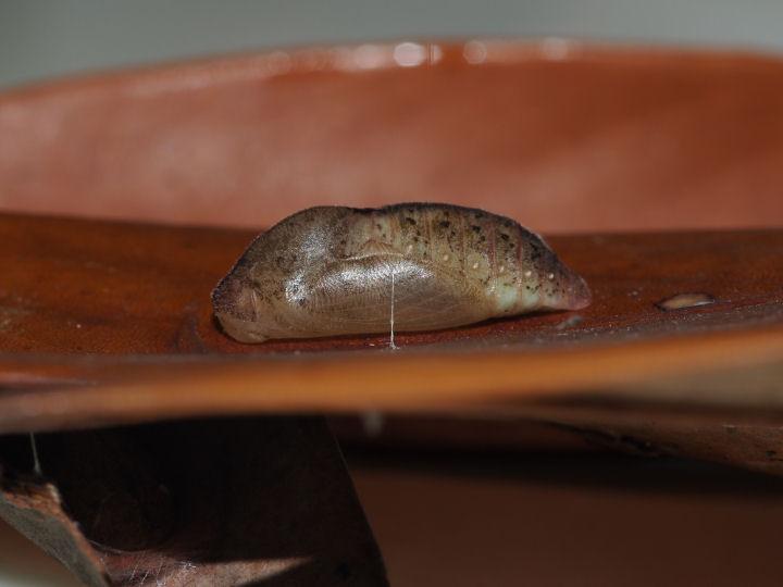 ムラサキツバメ蛹-OMD09576