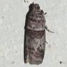 96-ギンマダラメイガ-OMD00490
