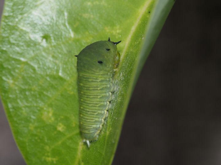 アオスジアゲハ幼虫15mm@タブノキ-OMD00889