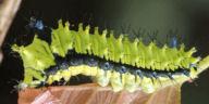 192-ウスタビガ幼虫20mm