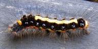 192-ゴマフリドクガ幼虫