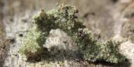 192-シラホシコヤガ幼虫10mm