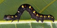 192-ヒメエグリバ幼虫30mm-OMD01811