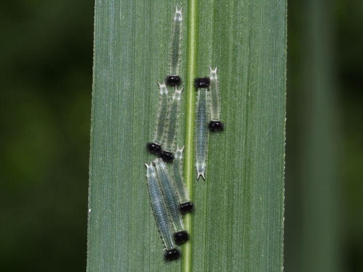 クロコノマチョウ幼虫8~10mm-OMD01163