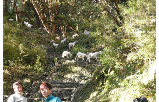 羊の集団移動