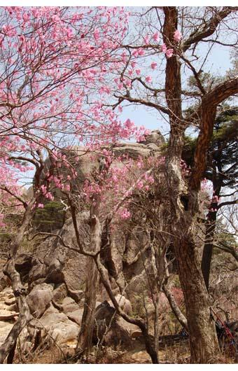 あけぼのツツジと上湧塚の岩峰