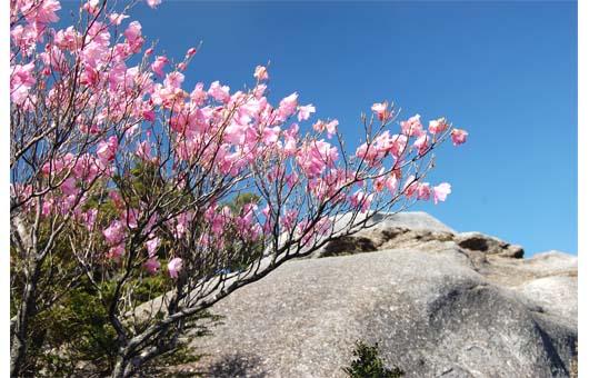 小積ダキに咲くアケボノツツジ