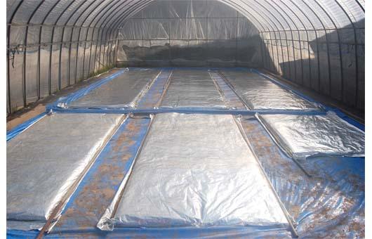 蒸着シート被覆して育苗4-29