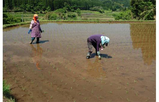 人による田植え作業