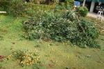 突風で折られた ライチの木。
