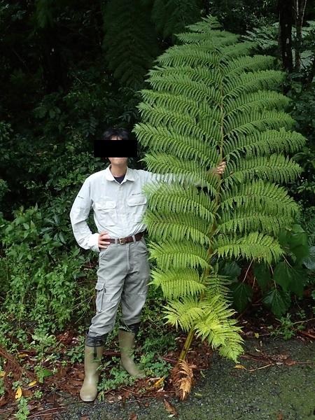 ヒカゲヘゴの葉