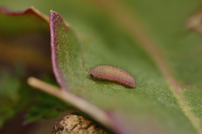 ベニシジミ幼虫1