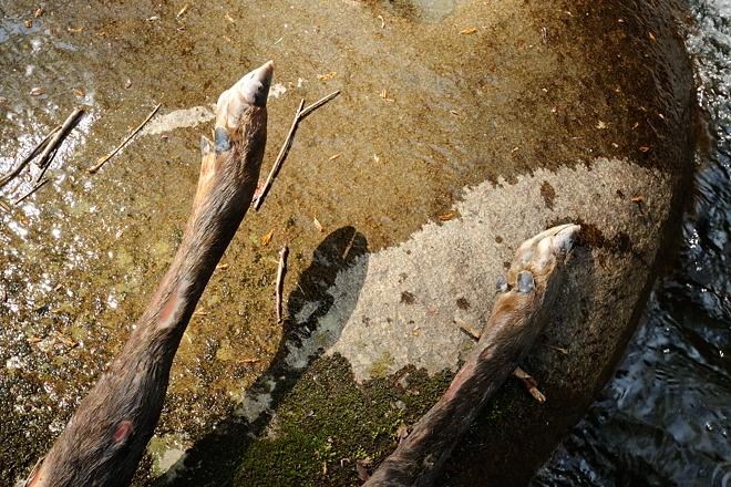シカ死体の脚