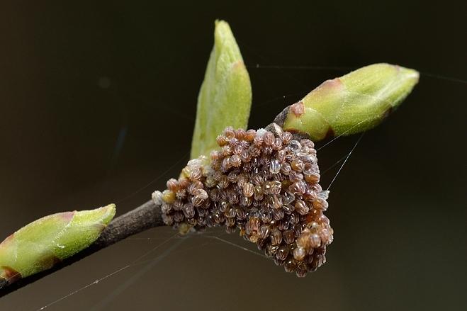 ヒオドシチョウの卵拡大