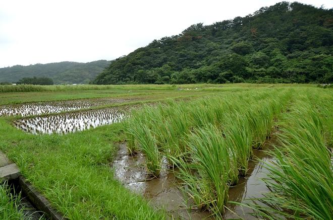 奄美の水田