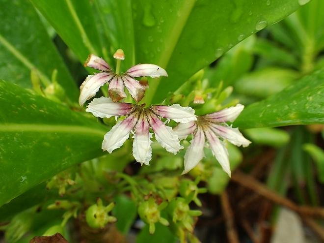 クサトベラの花
