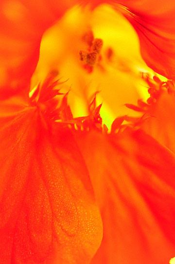 blog 76 Mendocino, Nasturtium (Tropaeolum)_DSC1942-6.23.14.jpg