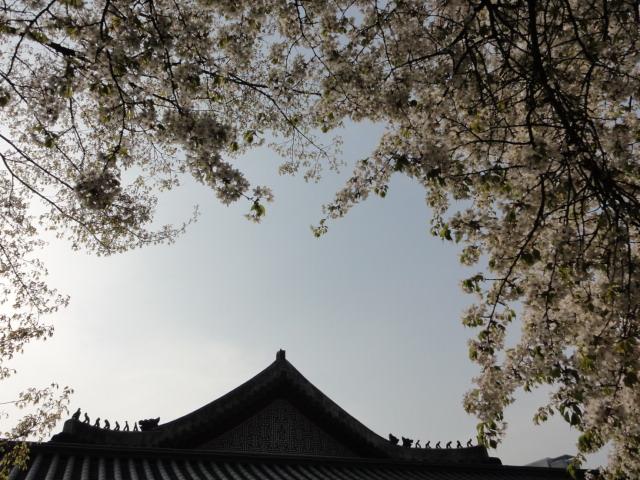 2013年4月21日 夕暮れの徳寿宮 桜と雑像