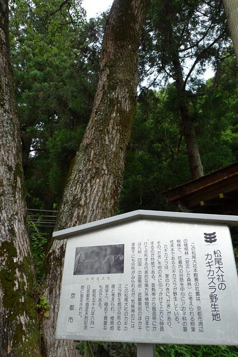 京都府 松尾大社 8