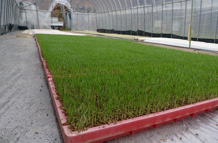 農繁期 2014 育苗 1