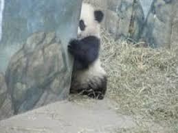 こっそり パンダ
