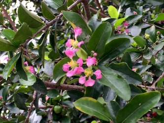 アセロラ花