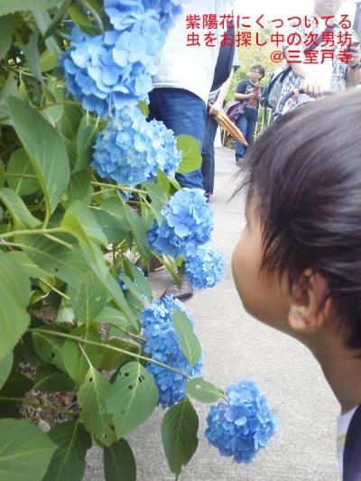 blog惺と紫陽花20140615誕生日KIMG1666
