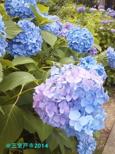 blog三室戸寺の紫陽花20140615KIMG1663