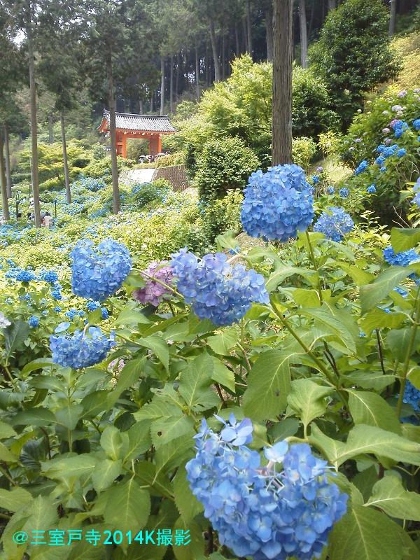 blog三室戸寺の山門と紫陽花K撮影20140615KIMG1688