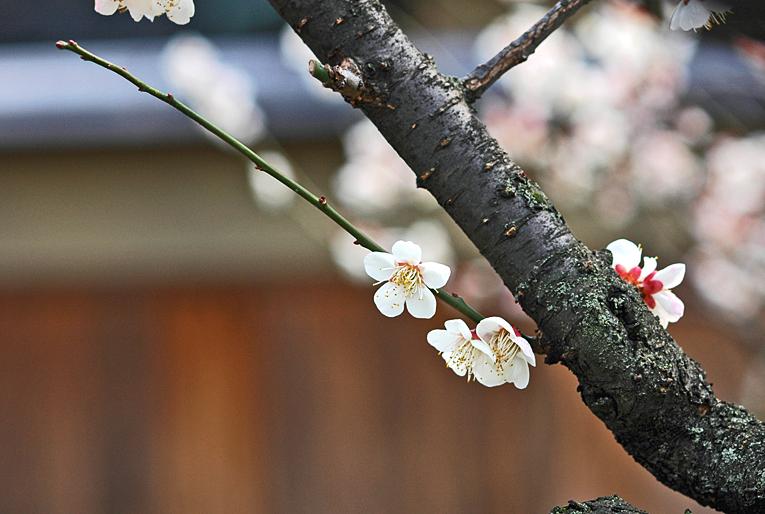 祇園の梅02b