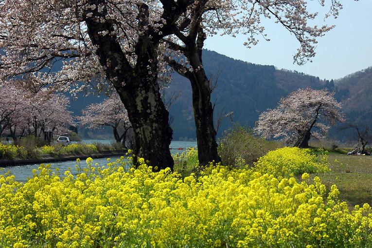 湖北の桜02