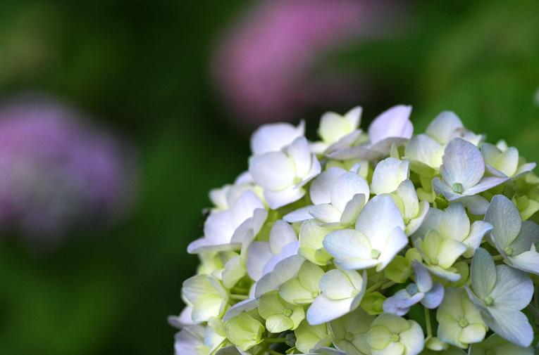 紫陽花⑤01