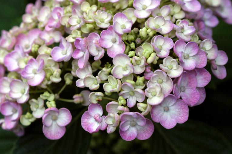紫陽花④01