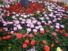 花フェスタミニ薔薇