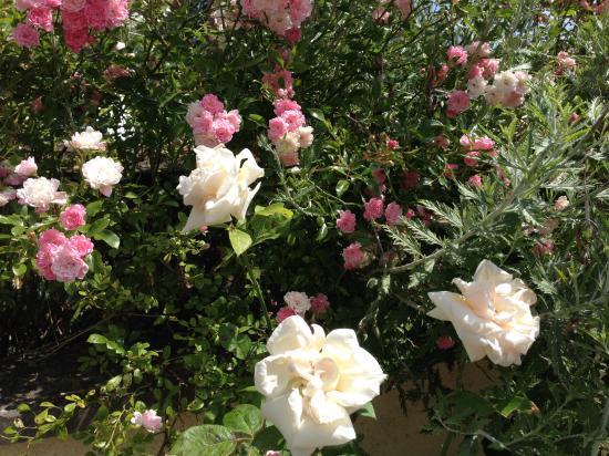 La vie en rose ! 親友ELVIR のバラ園