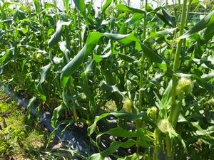 corn1-web300.jpg
