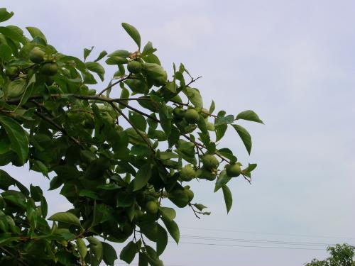 7月22日柿の摘果