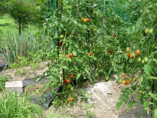 7月22日のトマト1