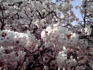 造幣局 桜の通り抜け 2014 Part3(静香)