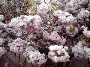 造幣局 桜の通り抜け 2014 Part3(小手毬 その1)