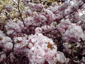 造幣局 桜の通り抜け 2014 Part3(小手毬 その2)