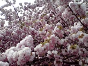 造幣局 桜の通り抜け 2014 Part3(紅手毬)