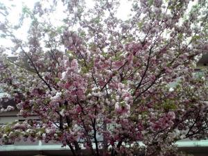 造幣局 桜の通り抜け 2014 Part3(松前琴糸桜)