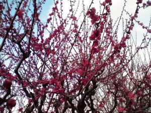 大阪城梅林 前半 Part2(紅千鳥)