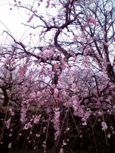 大阪城梅林 前半 Part3(呉羽枝垂 その3)