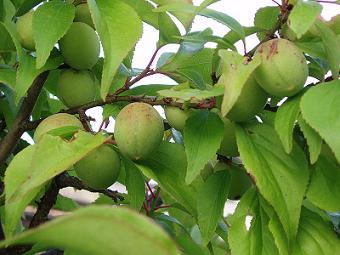 800px-Fruits_of_Japanese_plum.jpg