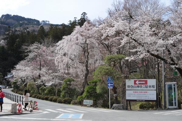 宝登山神社参道の枝垂れ桜とソメイヨシノ