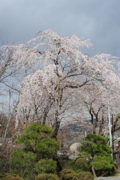 宝登山神社の枝垂れ桜