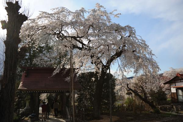 法善寺枝垂れ桜