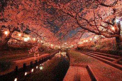 吹上夜桜①